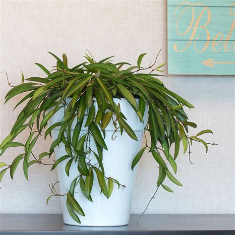 Houseplants That Don T Need Light exotic angel plants 174 pictures costa farms