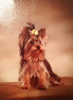 yorkies for sale in gainesville fl akc terriers for sale welcome teacup yorkies ga fl al