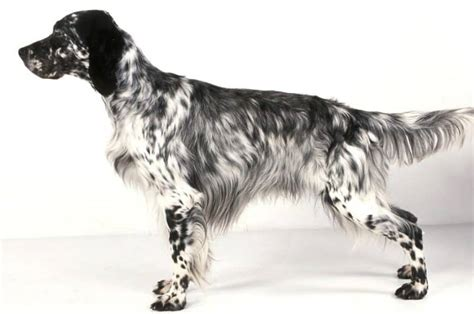 setter dog traits english setter breed information facts pictures