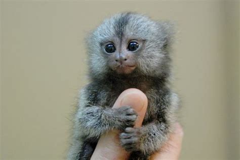 funny pictures gallery small monkeys small monkey types