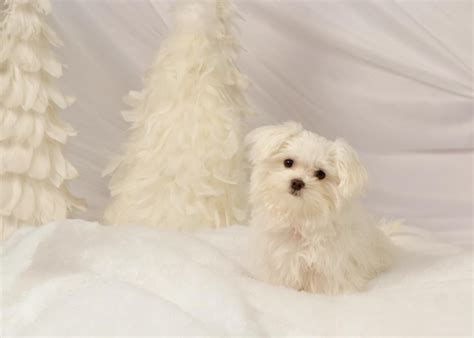 maltipoo puppies for sale in utah 1000 ideas about black maltipoo on maltipoo puppies maltipoo and