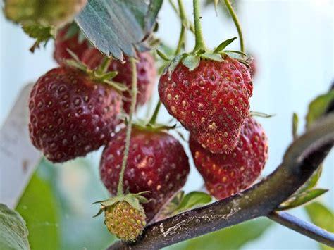 strawberry backyard tower garden