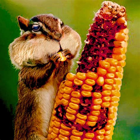 corn eating rabbit by cizmeco nature cartoon toonpool