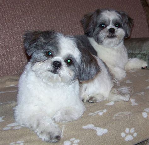 shih tzu and furbaby rescue inc poncho and wookie shih tzus furbabiesshih tzus furbabies