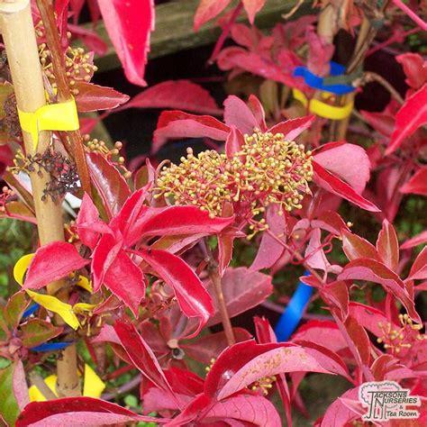 buy parthenocissus henryana chinese virginia creeper