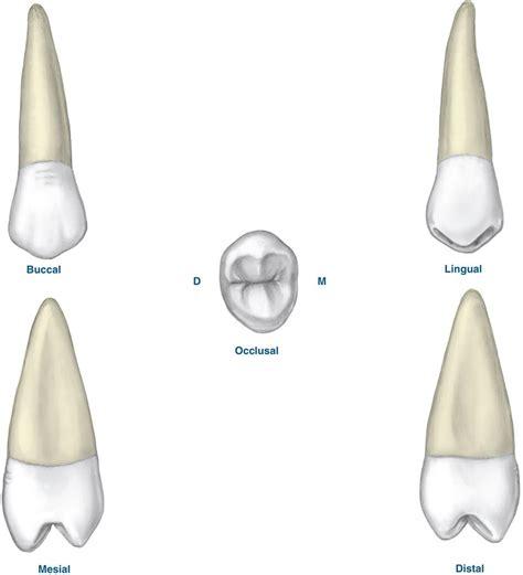 Maxillary Premolar Image Gallery Second Premolar