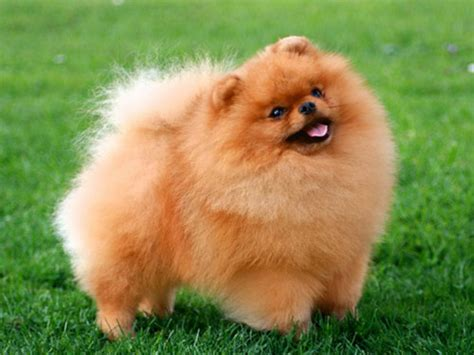how big are teacup pomeranians pomeranian fully grown breeds picture
