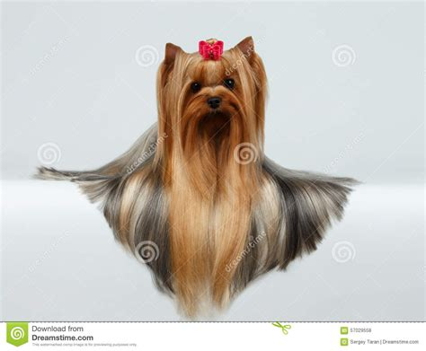 yorkie white hair terrier with groomed hair lying on white stock photo image 57029558