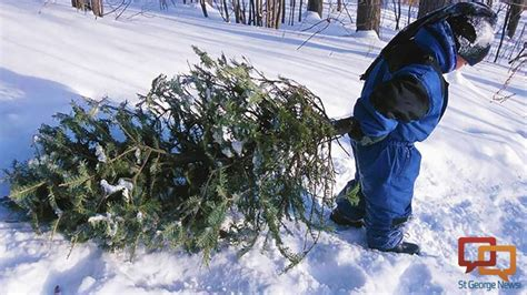 utah tree permits forest service national forest tree chopping cost information cedar city news