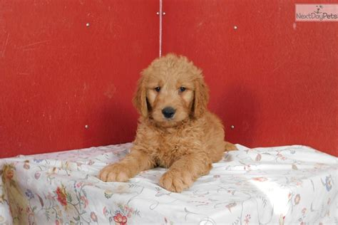 goldendoodle indianapolis goldendoodle puppy for sale near indianapolis