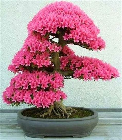 Bonsai Pink bonsai tree with pink flowers plants and trees flower tree care and trees