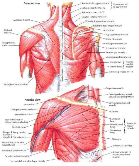 diagram back muscles shoulder blade anatomy tag muscles back shoulder