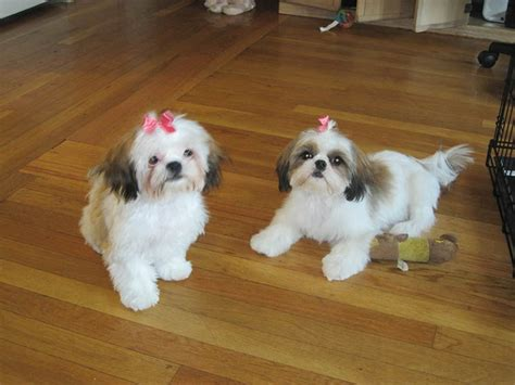 shih tzu pros and cons when should i spay my shih tzu puppy