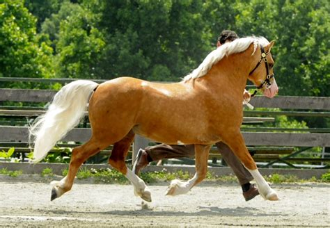 welsh cob section c section c welsh pony of cob type
