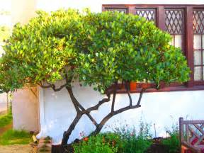 triyae narrow backyard trees various design