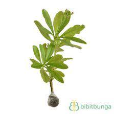 tanaman culantro