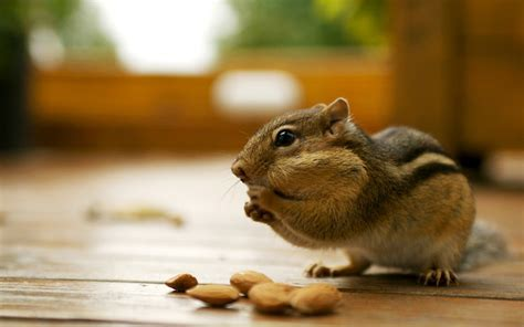 chipmunk pictures free chipmunks wallpapers animals wiki pictures