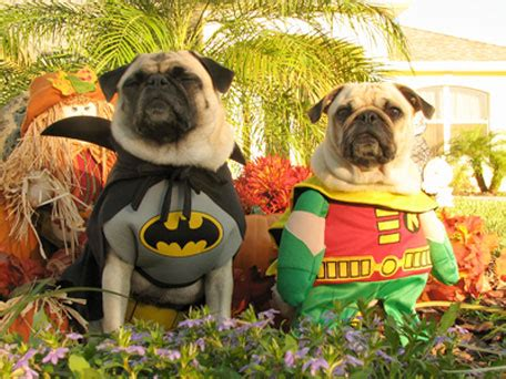 pug in superman costume pugs in costumes because you you want to see it