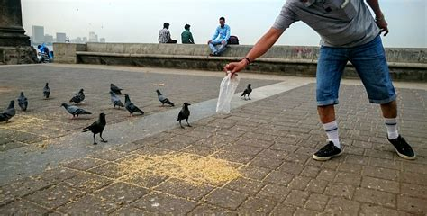 how feeding pigeons in cities is killing the ecosystem