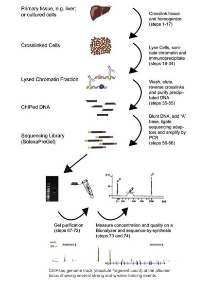 chip qpcr protocol an introduction to chip seq bitesize bio
