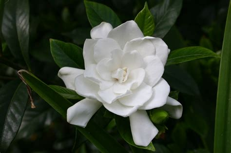 gardenia flowers florist gardenia planting outdoors walter reeves the