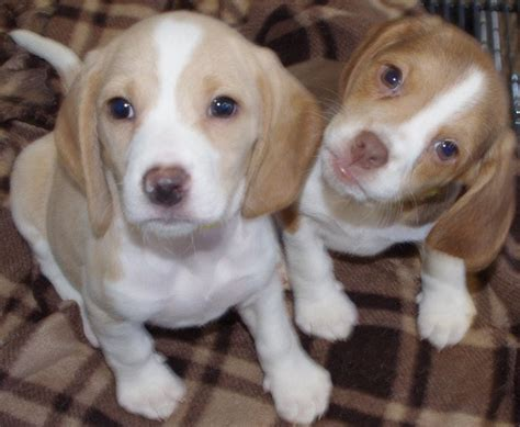 cheagle puppies for adoption cheagle puppies for sale breeds picture