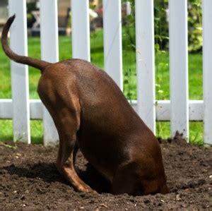 keep from digging fence stop dogs from digging your fence fence specialists