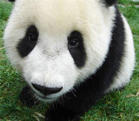 panda bear panda bear 0805080783 baby panda bear view large up close and personal playing flickr