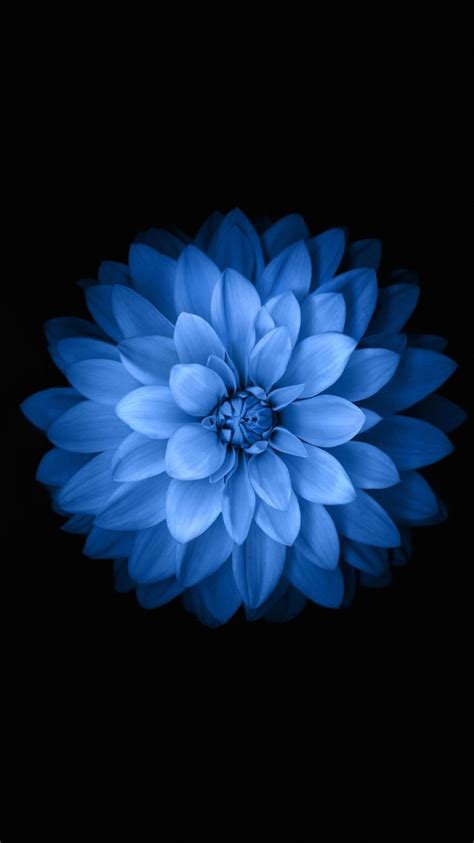 apple wallpaper white flower blue black flower iphone 6s wallpaper