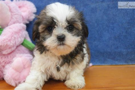 havanese breeders wisconsin havanese puppy for sale near appleton oshkosh fdl wisconsin 1b5a82f7 33d1
