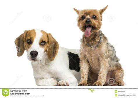 beagle and yorkie terrier and beagle puppy next to each other stock photo image 40409844
