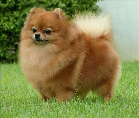 golden pomeranian puppies pomeranian pregnancy breeds picture