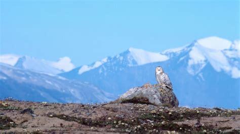 Gradient Nest harfang des neiges carte d identit 233 rangerclub