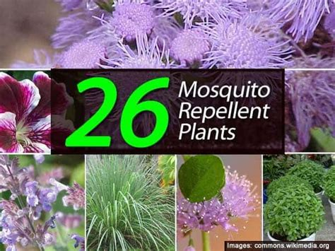 top mosquito repellent plants theindianspot 26 mosquito repellent plants