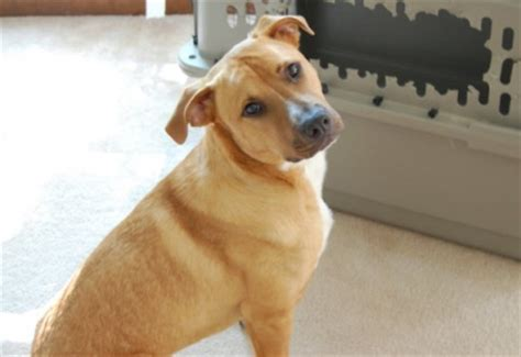 puppy light light brown pitbull dogs