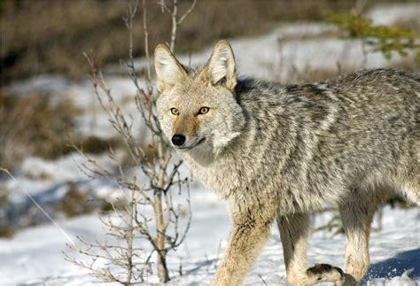 facts about coyote cubs apexwallpapers com coyote facts and pictures coyote animal facts and
