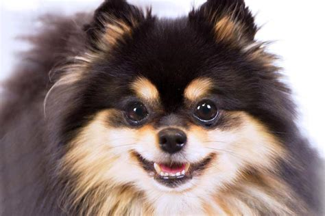 pomeranian expectancy pomeranian breed information american kennel club
