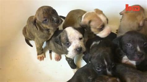 how many puppies do pitbulls in the litter pit bull puppies learning how to swim