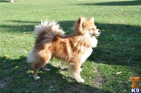 pomeranian papillon 17 best images about paperanians papillion pomeranian on cutest dogs