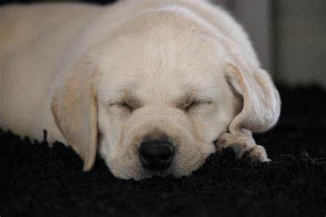 labrador puppies for sale orange county labrador retriever orange county merry photo