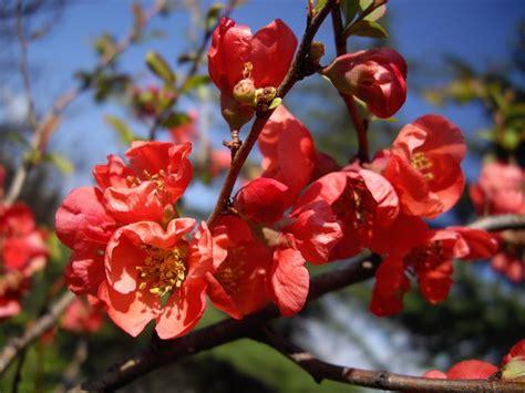 fiori di pesco giapponese fior di pesco chaenomeles japonica chaenomeles