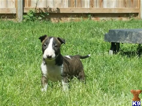 bull terrier puppies for sale in nj bull terrier puppies for sale new york dogs our friends photo