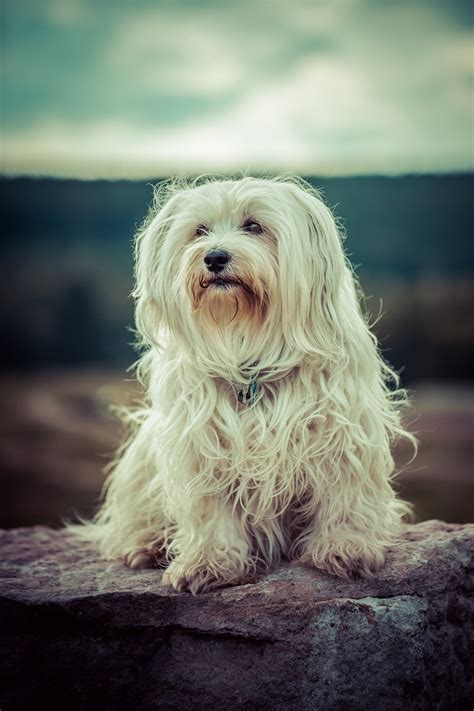 how big do havanese get a compilation of the 15 dogs that made us feel unworthy urdogs