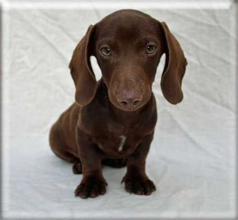 dachshund puppies ma 17 best images about doxies on nap times dapple dachshund and miniature
