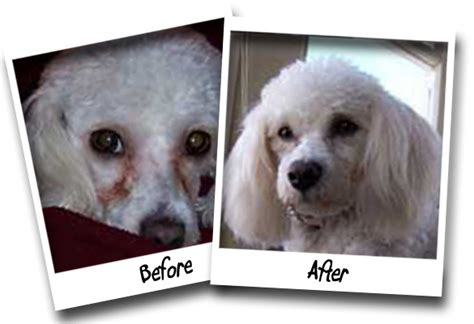 havanese tear stains success stories pet wipes tear stain remover
