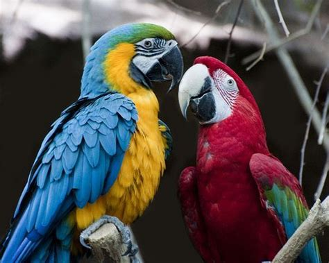 colorful parrots colorful parrots pictures photos and images for