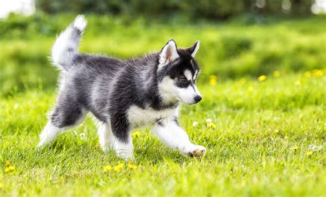 husky puppy cost how much do husky puppies cost currently