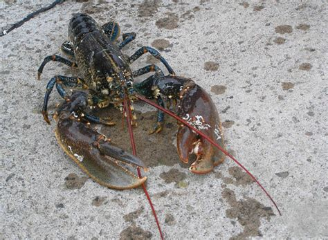 can yorkies eat shrimp how to breed freshwater lobsters