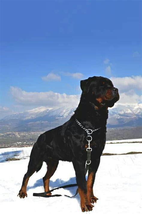 cool rottweiler names 1000 idee su rottweiler su cuccioli di rottweiler rottweiler tedesco e