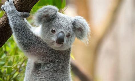 koala  dead  mutilated  warrnambool daily mail